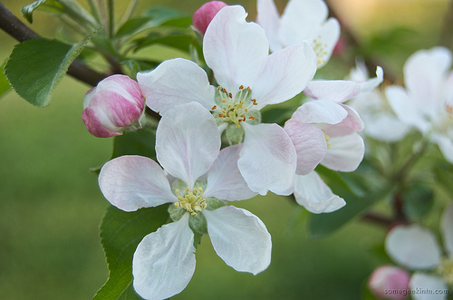 Flickr User Casey Fleser photo: Apple Blossoms