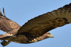 Flickr Photo of a dark red-tailed hawk by USFWS Mountain-Prairie
